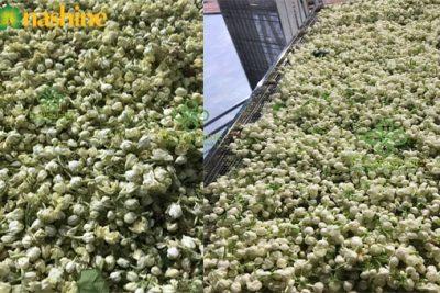Trà hoa nhài sấy lạnh nguyên bông thơm ngon đặc biệt