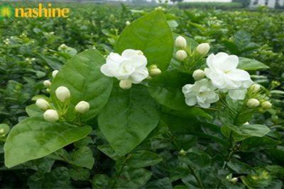 Công ty TNHH Econashine cần phát triển vùng nguyên liệu hoa nhài. Cam kết bao tiêu đầu ra.