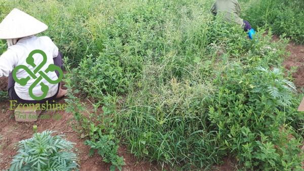Vùng nguyên liệu hoa cúc econashine
