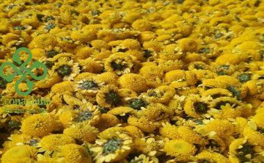 MUA TRÀ HOA CÚC  HÀ NỘI VÀ TOÀN QUỐC – Trà hoa cúc khô nguyên bông tự nhiên